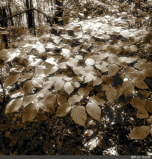 Leaves with Highlights ©Ron Scott