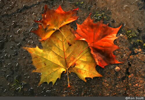 Wet Autumn Leaves ©Ron Scott
