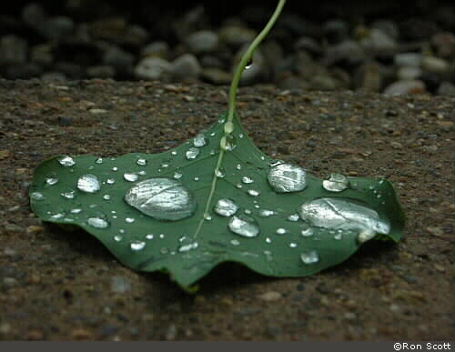 Leaf With Water Drops ©Ron Scott